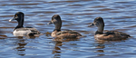 Ring-necked ducks (male and female)
