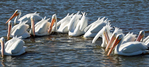 White pelicans (feeding group)