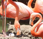 flamingos tending egg