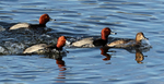 Redhead Ducks in Mating Group