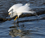 Snowy Egret Catching Fish