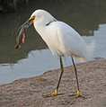 Snowy Egret Holding Large Fish