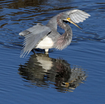 Tricolored Heron Hunting Fish
