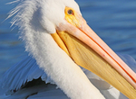 white pelican close-up