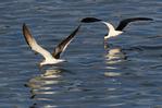 black skimmers feeding