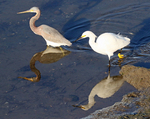 tricolored heron & snowy egret feeding together