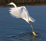 snowy egret stalking prey