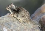 California ground squirrel portrait
