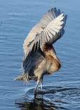 reddish egret stalking prey