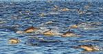 common dolphin pod