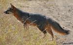 island fox portrait