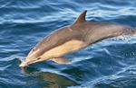common dolphin portrait