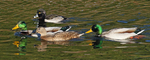 mallard ducks with ring-necked duck
