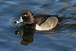 ring-necked duck portrait