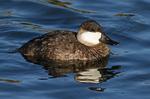 ruddy duck female portrait