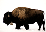 Bison walks in Yellowstone