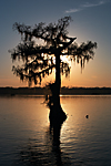 (KAREN'S) SUNSET BALDCYPRESS