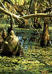 CYPRESS KNOBS, CORKSCREW SWAMP SANCTUARY