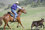 Ranchers at the Scott and Tuckers Hughes ranch during annual spring branding of beef calvers near Stanford Montana