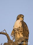 Red Tail Hawk in northeastern North Dakota