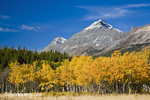 Summit and Little Dog Mountains above peak fall aspen stand near Marias Pass in Glacier National Park in Montana