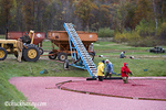 Cranberry Harvest near Spooner Wisconsin