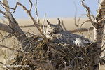 Female great horned owl on nest near Shelby Montana