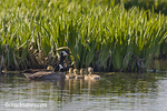 Breeding pair of Canada Geese with goslings at Ninepipe WMA in the Mission Valley of Montana