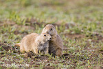 Prairie dogs greet each other in Theodore Roosevelt National Park in North Dakota