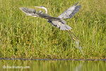 Great Blue Heron takes off from Lazy Creek near Whitefish Montana