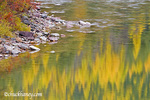 Tamaracks trees reflect in the North Fork of the Flathead River near Columbia Falls Montana