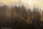 Rays of light emit from forest above the Yellowstone River at sunrise in Yellowstone National Park in Wyoming