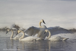 Trumpeter Swans in the Madison River in winter in Yellowstone National Park