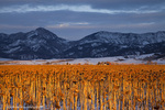 Ripe field of sunflowers in winter with the Bridger Mountan Range near Bozeman Montana