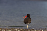 American oystercatcher along the shoreline of Isla Carmen in the Gulf of California near Loreto Mexico