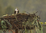 Osprey at nest site during rain near Rollins, Montana, USA