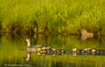 Mallard duck family in Bass Harbor Marsh in Acadia National Park, Maine, USA