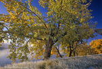 Autumn cottonwoods on a frosty morning along the Missouri River near Cascade, Montana, USA