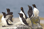 Razorbills on Machias Seal Island near Cutler, Maine, USA