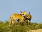 Red fox puppies at den site near Conrad, Montana, USA