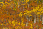 Quaking aspen grove in peak autumn color in Glacier National Park, Montana, USA