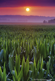 Sunrise over cornfield near Herrman, Missouri, USA
