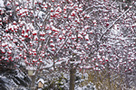 Mountain ash tree and birdhouses under fresh snowfall in Whitefish, Montana, USA