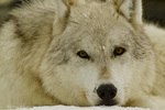 Gray wolf portrait in captive setting in West Yellowstone, Montana, USA