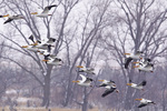 White pelicans in flight at Calamus Reservoir in Loup County, Nebraska, USA