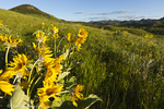 Arrowleaf balsomroot wildflowers in the Bears Paw Mountains near Havre, Montana, USA