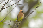 Cedar waxwing in tree in the Little Missouri National Grasslands in North Dakota, USA