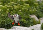 Atlantic puffin with nouthful of shrimp on Machias Seal Island near Cutler, Maine, USA