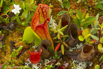 Pitcher plants in a bog near Lubec, Maine, USA