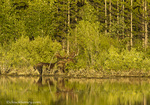 Bull moose feeds in evening light in Grand Teton National Park, Wyoming, USA